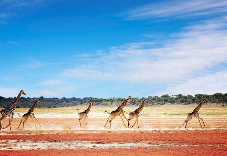 scamper: Herd of giraffes in african savanna, Etosha National Park, Namibia  Stock Photo