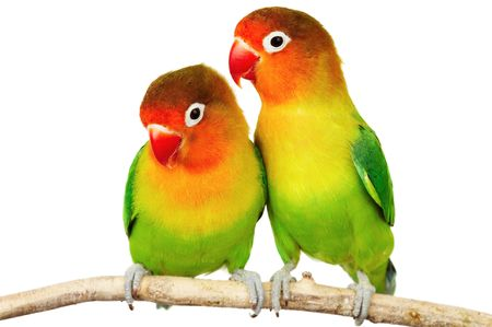 roost: Pair of lovebirds agapornis-fischeri isolated on whiter Stock Photo