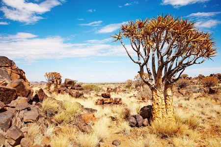 quiver: Landschap met quiver bomen (Aloë dichotoma), Namibië