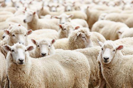 Livestock farm, herd of sheep
