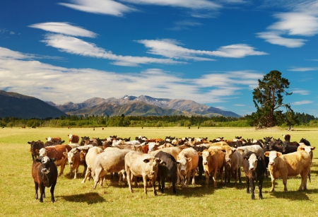 Mountain landscape with grazing cows, New Zealand