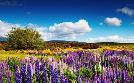 Landscape with blossoming field and blue sky, New Zealand Stock Photo - 4345919