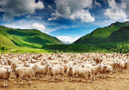 Gregge di pecore Archivio Fotografico - 4437066