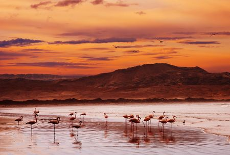 luderitz: Flamingo on the beach, Atlantic coast of Namibia