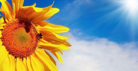 Sunflower closeup over blue sky background  photo