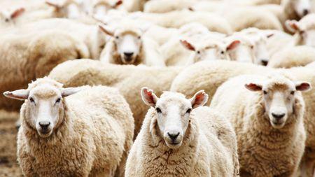 sheep: Ganaderos, reba�o de ovejas Foto de archivo