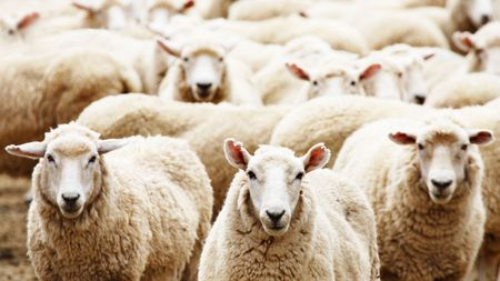 flock: Livestock farm, herd of sheep