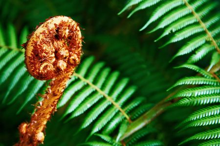 Unravelling fern frond closeup, one of New Zealand symbols  photo