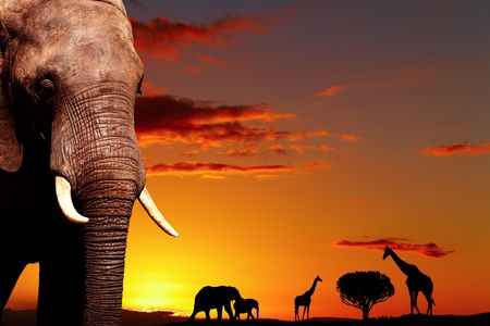 African elephant in savanna at sunset Stock Photo