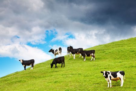 pastoral scenery: Rural landscape with grazing calves and cloudy sky