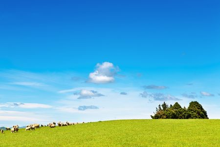 Landscape with green field and grazing sheep photo
