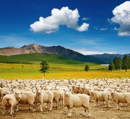 ovelha: Paisagem da montanha com carneiros e c�u azul