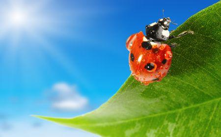 Ladybug on green leaf over blue sky background  photo