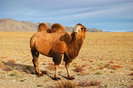 Bactrian camel in mongolian desert  photo