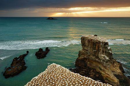Gannet colony, Muriwai Beach at sunset, New Zealand  Фото со стока