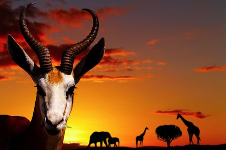 Springbok antelope closeup in african savanna at sunset