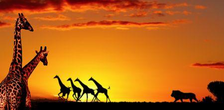 scamper: Alarmed giraffes run away in night savanna