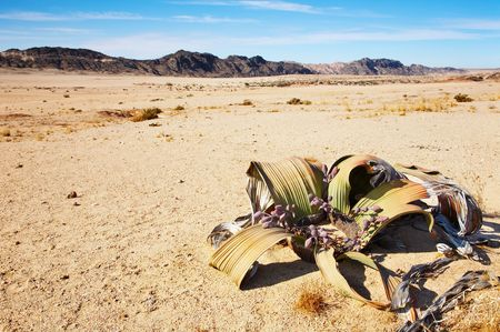lifeless: Amazing desert plant, living fossil Welwitschia Mirabilis in Namib Desert  Stock Photo