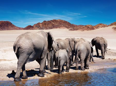 Herd of elephants at watering  Фото со стока