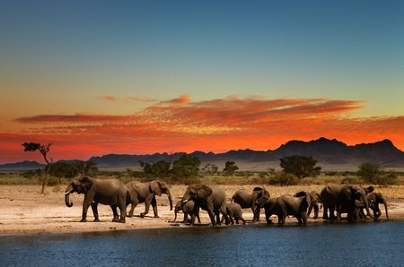 africa safari: Herd of elephants in african savanna at sunset  Stock Photo