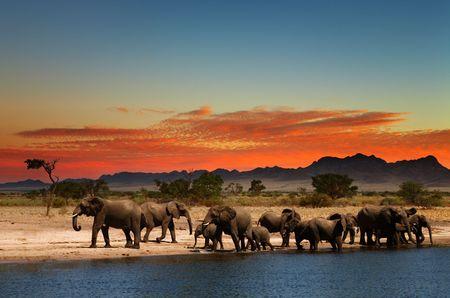 Herde von Elefanten in der afrikanischen Savanne bei Sonnenuntergang