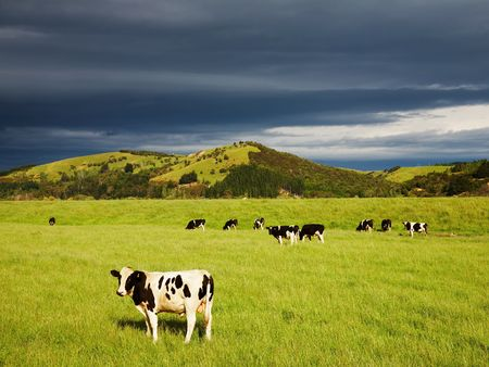 Grazing calves on the green field, New Zealand  photo