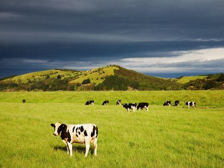 vacas lecheras: Terneros de pastos en el campo verde, Nueva Zelanda  Foto de archivo