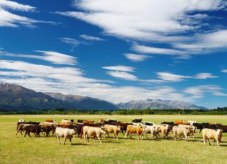 Paisaje rural con un reba�o de vacas, Nueva Zelanda Foto de archivo - 6670743