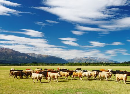 pastoral scenery: Rural landscape with cows herd, New Zealand