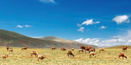 nomadism: Grazing camels in Gobi Desert, Mongolia