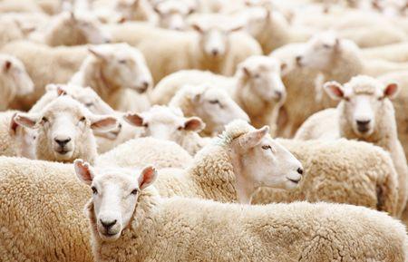 Explotación de ganado, el rebaño de ovejas close up