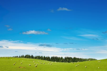 New Zealand landscape, green field and grazing sheep Stock Photo - 6806585