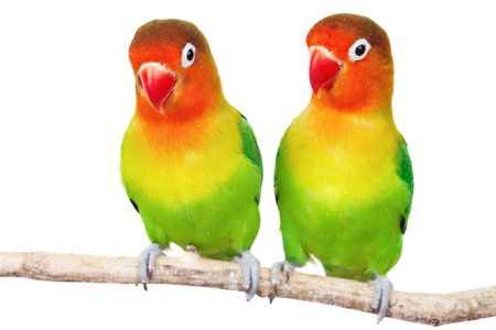inseparable: Pair of lovebirds agapornis-fischeri isolated on white  Stock Photo