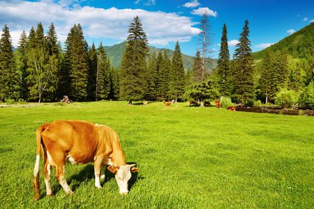 Rural landscape with grazing cow and blue sky Stock Photo - 6884378