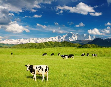 Landscape with grazing calves and snowy mountains photo