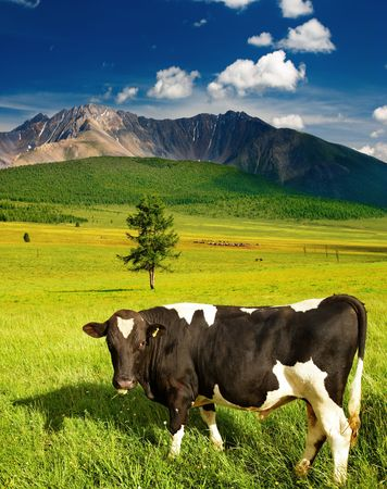 Mountain landscape with green field and grazing bull  photo