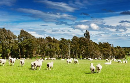 Green field and grazing sheep, New Zealand