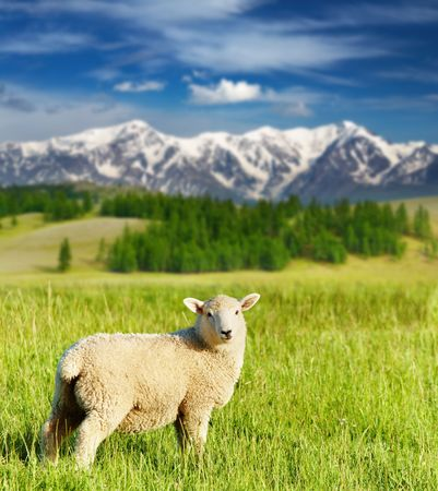 Landscape with grazing lamb and snowy mountains Фото со стока