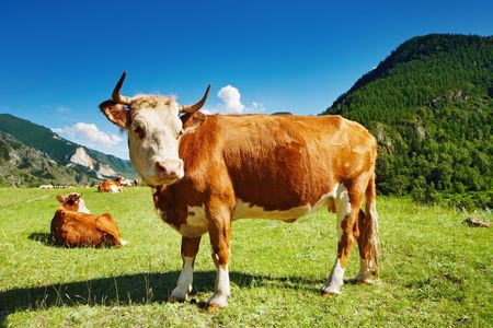 Mountain landscape with cows and blue sky Stock Photo - 7678008