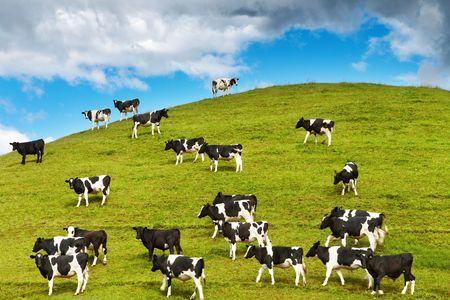 Grazing calves on green hill, New Zealand photo