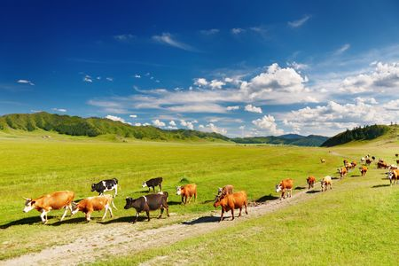 Rural landscape with cows herd Stock Photo - 7843112