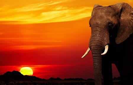 siluetas de elefantes: Elefante africano en la sabana al atardecer  Foto de archivo