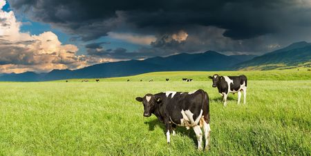 Mountain landscape with grazing cows and storm clouds  Фото со стока