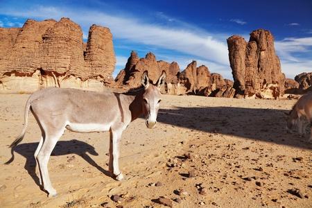 parch: Donkeys in Sahara Desert, Tassili NAjjer, Algeria  Stock Photo
