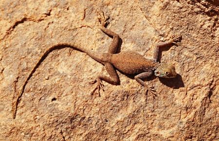 Desert lizard on the rock in Sahara Desert Stock Photo - 8677721
