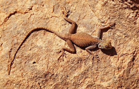 desert lizard: Desert lizard on the rock in Sahara Desert Stock Photo
