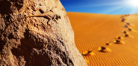 desert lizard: Desert lizard on the rock against sand dune in Sahara Desert Stock Photo