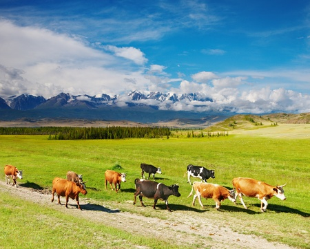 Landscape with snowy mountains and cow herd Stock Photo - 8768095