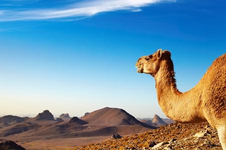 desierto del sahara: Camello en el desierto del Sahara, monta�as de Hoggar, Argelia Foto de archivo