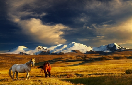 horse in snow: Grazing horses at sunset, plateau Ukok, the junction of Russian, Mongolian and Chinese boarders